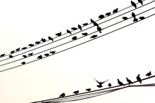 Silhouette Birds On Electric P...