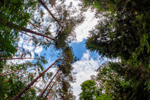 Upward View Of Tree Tops Against Blue Sky. Sunny Day With Blue Sky And White Clouds.
