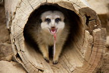 Meerkat Eating A Meat In The L...