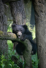 Sloth Bear Cub On A Tree. Melu...