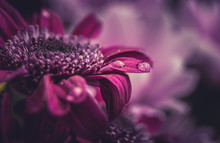 Beautiful Purple Fresh Chrysanthemums With Dew Drops After Rain On The Petals That Bloomed In The Summer