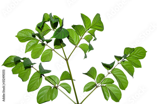 Photo Natural green tree isolated on white background with selective focus