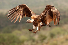 White Backed Vulture Flying Before Landing In Zimanga Game Reserve In Kwa Zulu Natal In South Africa