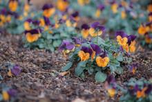 オレンジと紫のビオラ