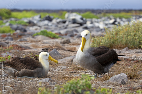 Obraz na plátně Galapagos islands native albatros dancing in the day