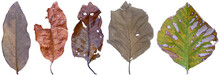 Set Of Dry Leaf Dead In Winter Isolated On White Background. Clipping Path