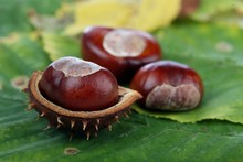 Chestnuts On Leafs - Close-up