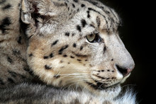 Face Portrait Of Snow Leopard With Green Vegation, Kashmir, India. Wildlife Scene From Asia. Detail Portrait Of Beautiful Big Cat Snow Leopard, Panthera Uncia.