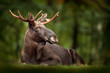 canvas print picture - Moose or Eurasian elk, Alces alces in the dark forest during rainy day. Beautiful animal in the nature habitat. Wildlife scene from Sweden.