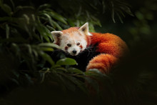Red Panda Lying On The Tree Wi...