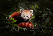 Beautiful Red Panda Lying On The Tree With Green Leaves. Ailurus Fulgens, Detail Face Portrait Of Animal From China. Wildlife Scene From Asian Forest.