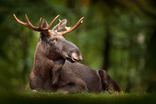 Moose Or Eurasian Elk, Alces A...