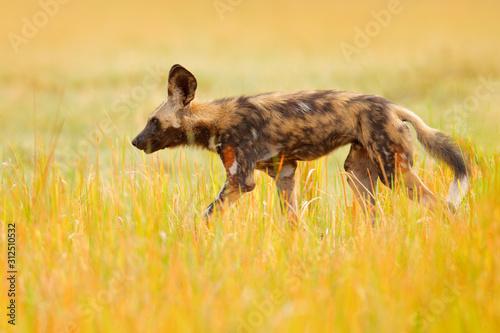 Vászonkép African wild dog, walking in the yellow golden grass, Okavango delta, Botswana, Africa