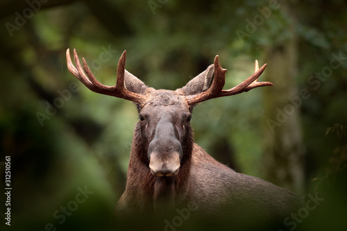 Foto Moose or Eurasian elk, Alces alces in the dark forest during rainy day