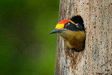 Bird In The Tree Nest Hole, Detail Portrait. Golden-naped Woodpecker, Melanerpes Chrysauchen, Sitting On Tree Trink With Nesting Hole, Black And Red Bird In Nature Habitat, Corcovado, Costa Rica.