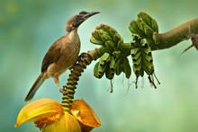 Helmeted Friarbird, Philemon B...