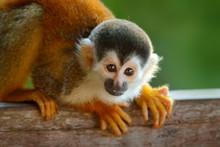 Monkey, Long Tail In Tropic Fo...