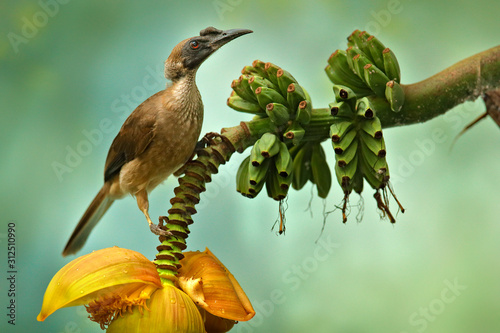 Obraz na plátně Helmeted friarbird, Philemon buceroides,  beautiful bird sitting on the banana tree in the green forest, Indonesia in Asia