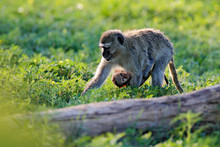 Monkey - Mother With Young Bab...