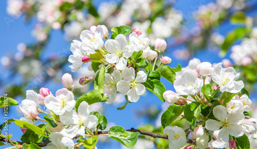 Photo beautiful apple tree blossom in spring