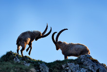 Ibex Fight On The Rock. Alpine...