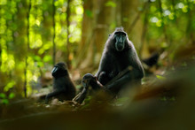 Monkey In Dark Forest. Celebes...