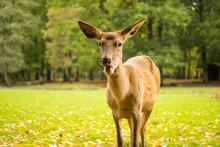 Female Red Deer On Meadow Clos...