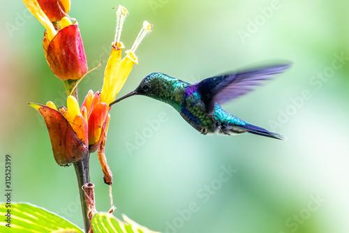 Blue hummingbird Violet Sabrewing flying next to beautiful red flower Tapéta, Fotótapéta