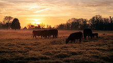 Beef Cattle In A Pasture With A Golden Sunrise Or Sunset