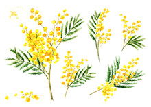 Mimosa Yellow Spring  Flowers Set, Watercolor Hand Drawn Illustration Isolated On White Background