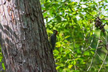 Red-bellied Woodpecker, North ...
