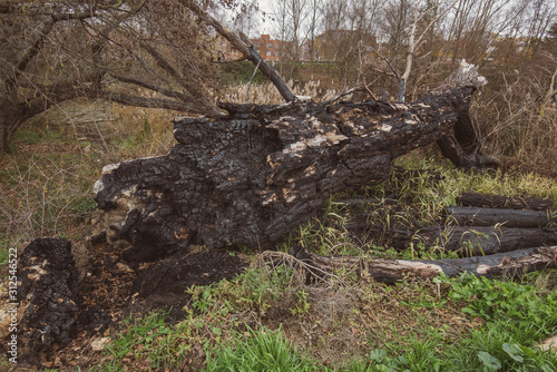 fallen and burned tree in a park after a winter storm in Palencia, Spain