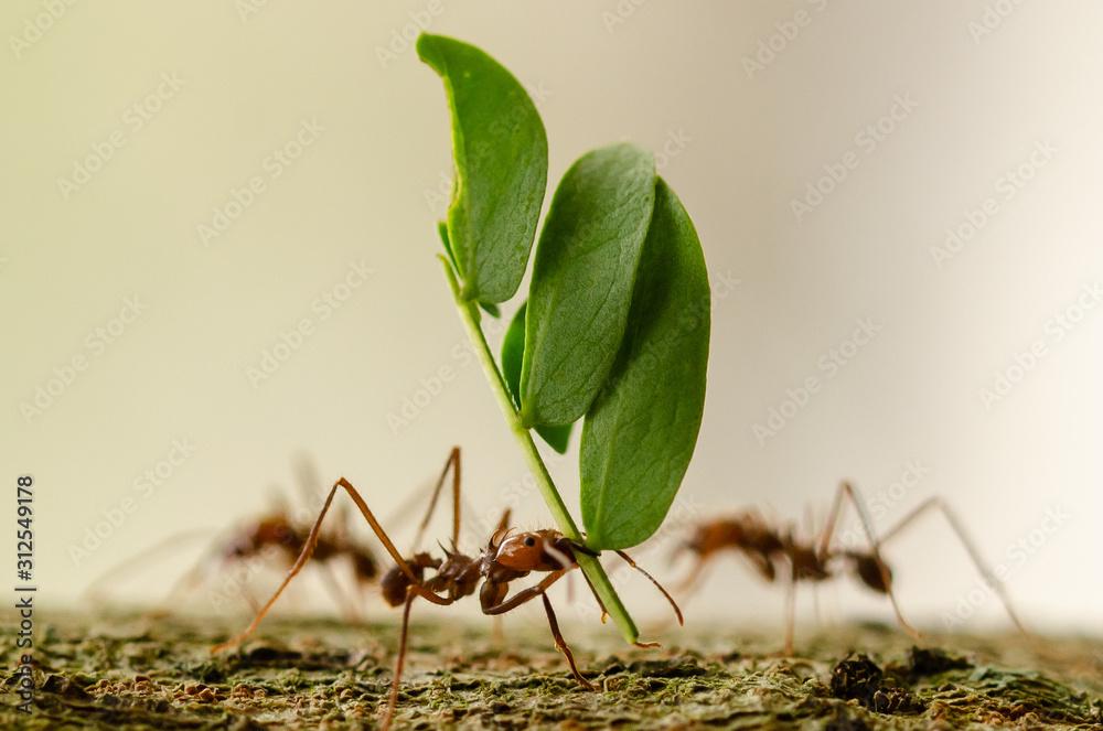 Fototapeta leaf cutter ant macro