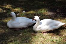 Two White Coscoroba Swans Lyin...