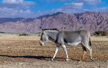 Somali Wild Donkey (Equus Africanus). This Species Is Extremely Rare Both In Nature And In Captivity.