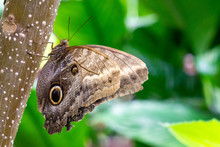 The Owl Butterflies, The Genus...