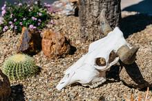 Cow Skull In Desert With Horns