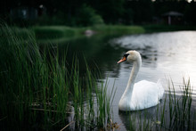 Wild Swan Drifting In Lake Water