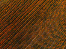 Orange Tulip Field From Above
