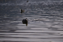 Coot Swimming In A Lake In The...