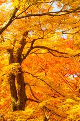 Fototapeta Drzewa Temperate broadleaf and mixed forest, Nature, Yellow