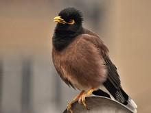 The Indian Mynah Bird