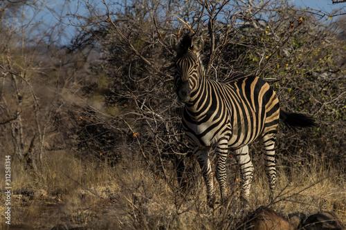 Plains zebra in Krueger National Park Canvas Print