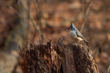 Tufted Titmouse On Scraggly Stump