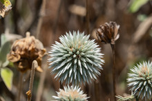 Great Globe Thistle Flowers In...