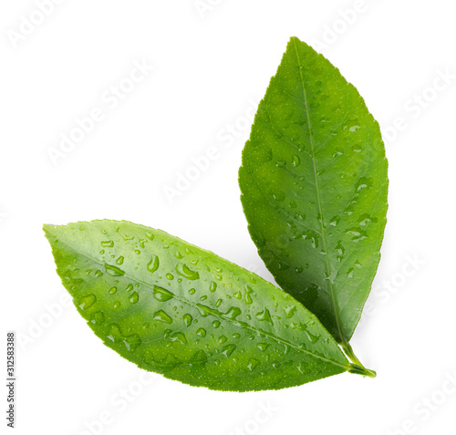 Fotografía  Fresh green citrus leaves with water drops isolated on white, top view