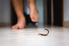 Scorpion Indoors Near A Person. Person Walking Near A Scorpion. Detection Concept, Brown Or Yellow Scorpion, Poisonous Sting.
