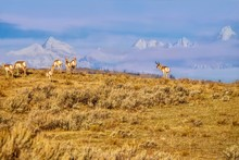 A Herd Of Pronghorn (Antilocap...