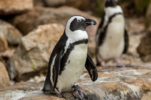 African Penguin (Spheniscus De...