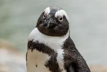 African Penguin (Spheniscus Demersus) Closeup